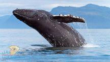 شاب يركب على ظهر حوت ضخم في مياه البحر