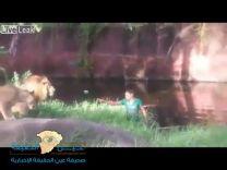 "بالفيديو : أسود تحاصر رجلا ""مخمورا "" بإحدى حدائق الحيوان"