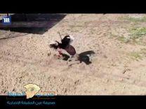 هجوم شرس من «نعامة» على عامل حديقة