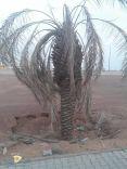 الأشجار تموت عطشاً في الحدائق العامة بحائل