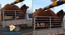 بالفيديو: سنام جمل تمنعه من عبور حاجز مرور