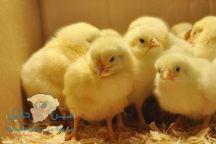 بالفيديو.. لحظة فقس «كتاكيت» من البيض بسبب شدة الحرارة