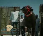 """بالفيديو: """"الثور سلطان"""" يصل سعره الى أكثر من 12 مليون ريال.. ويزن طن ونصف ويشرب كل يوم زجاجة ويسكي"""
