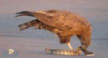طائر جارح يمزق ثعبان ضخم في جنوب إفريقيا