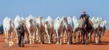 """بالأسماء .. تتويج أصحاب المراكز الأولى في فئة """"50 حمر"""" بـ""""مهرجان الملك عبدالعزيز للإبل"""