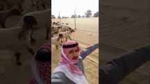 بالفيديو: خروف ( نجوف ) يطير شاب عالياً بعد استعراض مهاراته أمام قطيع الخراف