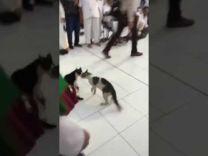 فيديو طريف.. مضاربة قطتين في الحرم المكي لم تجدي معهما جهود الصلح