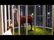 بالفيديو: بيع تيس نادر بـ 185 ألف ريال في مزاد علني بالمملكة!