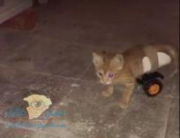 """مواطن ينجح في صناعة كرسي متحرك لـ""""قطة صغيرة مشلوله"""""""