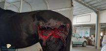 تحت اشراف ،،،، م . وافي الشمري اجراء عمليه جراحية وصفت بالصعبة لحصان