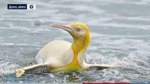 """بالصور.. العثور على """"بطريق أصفر"""" جنوب المحيط الأطلسي"""