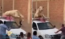 بالفيديو…. ثور يرثع بسيارة صاحبة وينقز من الحوض قبل ذبحه ضحية العيد بـــ #مصر