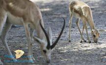 ولادة أول غزال بمحمية طبيعية في السعودية